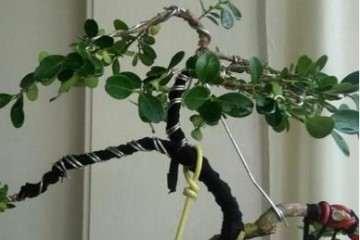 大叶黄杨盆景怎么扦插培育的方法