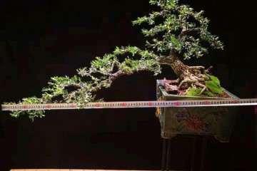 制作了一棵冠幅90cm的黄杨盆景 看看怎么样