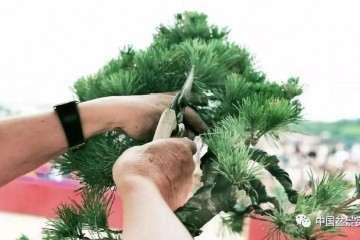 图解 胡乐国用高干垂枝法制作松树盆景