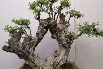 黄荆盆景老桩怎么造型的3个方法 图片