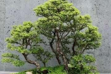 榕树盆景掉叶子怎么办 5个解决方法