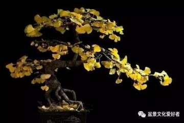 怎么用银杏树桩制作盆景的方法 图片