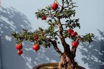 石榴盆景每15天施肥一次 效果最好