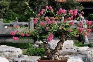 紫薇盆景怎么浇水养护的方法 图片