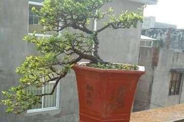 火棘盆景怎么洗根换盆不黄叶掉叶的方法