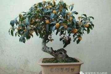 桂花盆景在春季什么时候换盆最好 图片