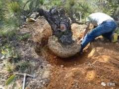 怎么采挖山松下山桩的2个方法 图片