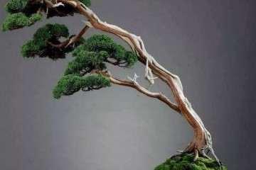 制作天价柏树盆景怎么采桩的方法 图片