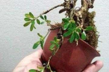盆景黄杨怎么养护喷水的方法 图片