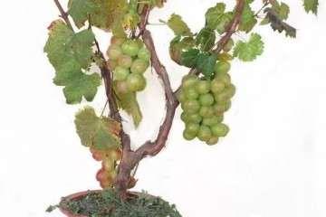 怎么高压栽种葡萄盆景的方法 图片