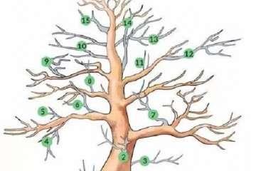 一张图片告诉你 盆景哪些枝条该修剪