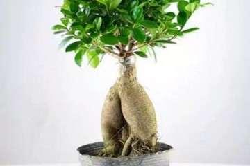 榕树盆景怎么嫁接的方法 图片