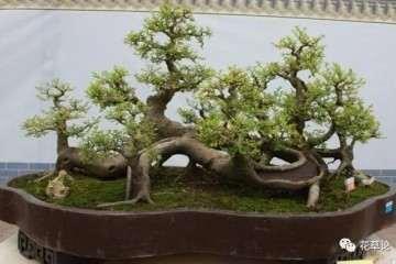怎么给朴树盆景上盆的方法 图片