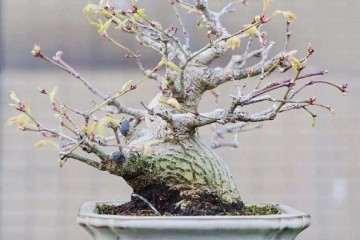 最适合老桩扦插的3种开花盆景 图片