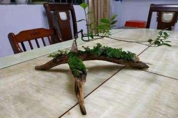 雀梅盆景怎么造型的方法 图片