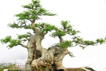 榆树盆景春季萌芽后 叶子不舒展怎么办