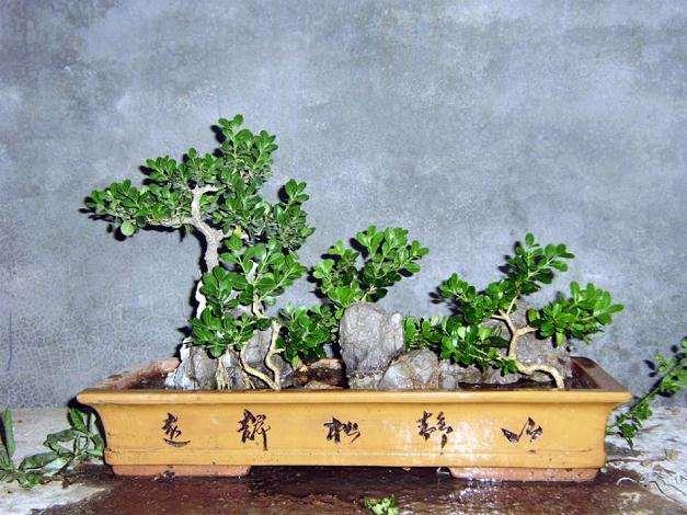 小叶黄杨盆景上盆后怎么造型