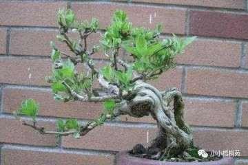 金银花盆景制作萌芽发芽的3个步骤
