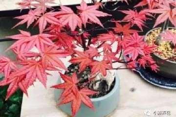家里的红枫盆景应该怎么浇水的方法