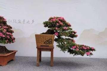 重庆杜鹃盆景之乡授牌仪式开幕 图片