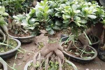 榕树盆景怎样繁殖播种的方法 图片