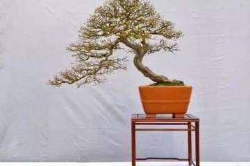 老桩盆景根系怎么造型的技巧 图片