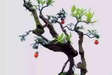 怎样把金枝玉叶盆景养成老桩 图片