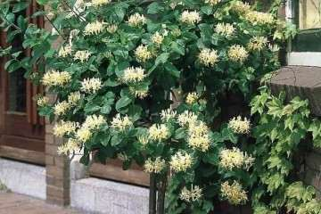 金银花盆景怎样繁殖栽培的方法 图片