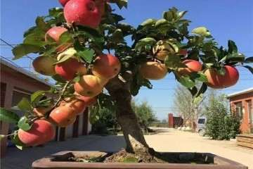 基地搬迁 便宜出售500盆矮化果树老桩盆景