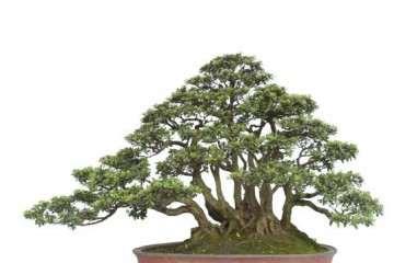 高压老桩盆景的生根培育法 有4个步骤