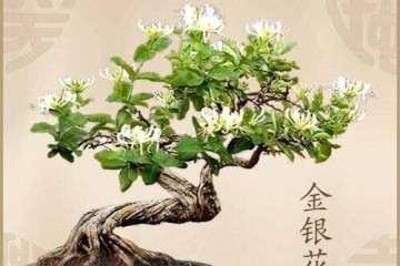 金银花盆景怎样养护的方法 图片