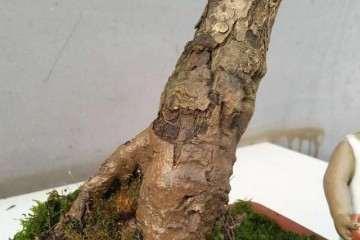 树木盆景怎样栽种的方法 图片