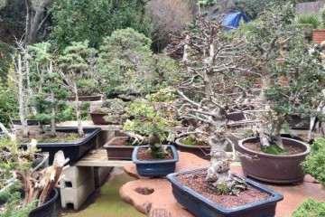 树木盆景阴阳性的鉴别有以下几个方面