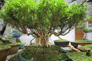 小叶瓜子黄杨盆景怎样上盆养护 图片