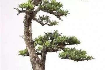 双杆盆景的高树该如何去处理 图片
