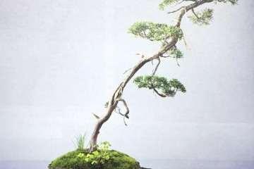 图解 文人树盆景怎样制作的方法