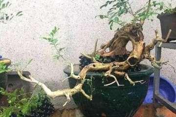 花了80元捡漏买的九里香树桩盆景