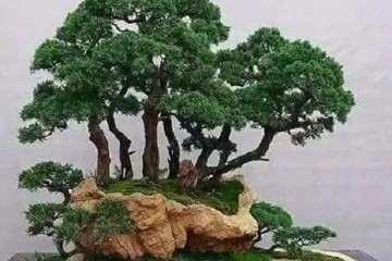 丛林盆景怎样造型的4个方法 图片