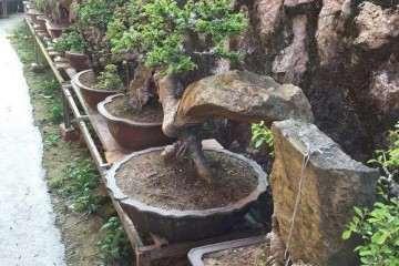 怎样制作榆树附石盆景的方法 图片