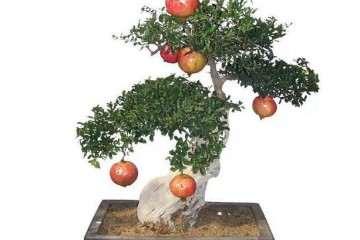 石榴盆景如何施肥可以促花促果 图片