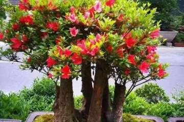树木盆景在夏季怎么修剪的方法 图片