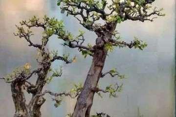 树木盆景在夏季怎样遮荫的方法 图片