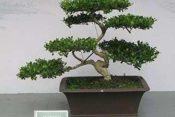 榆树盆景价格 98年购买时价为3000元