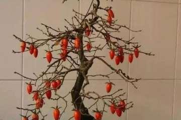 老鸹柿老桩为何适合做盆景 图片