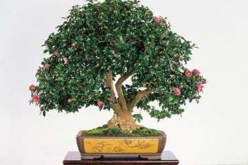 山茶花盆景怎样上盆栽种的方法