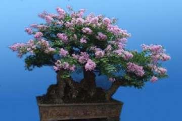 紫薇盆景在冬季怎样修剪的方法