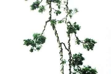 图解 10年时间造型双干文人树盆景的过程