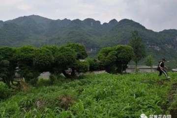 10棵百年黄杨盆景 可把周大叔愁坏了