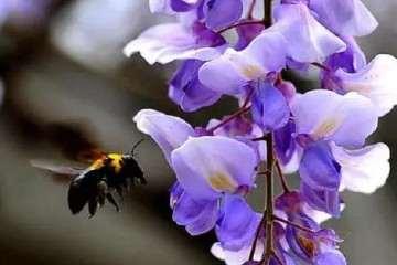 紫藤盆景怎样浇水施肥的方法 图片