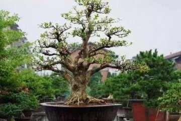 黄杨盆景怎样养护的要点